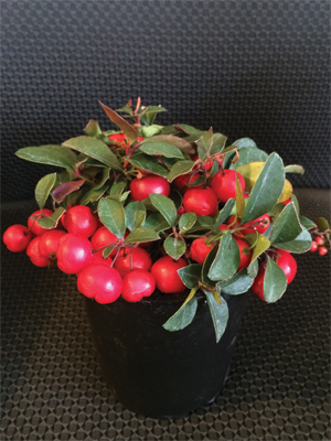 Wintergreen Cherry Berry