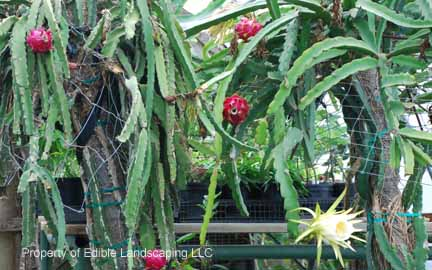 Dragon Fruit  in pots