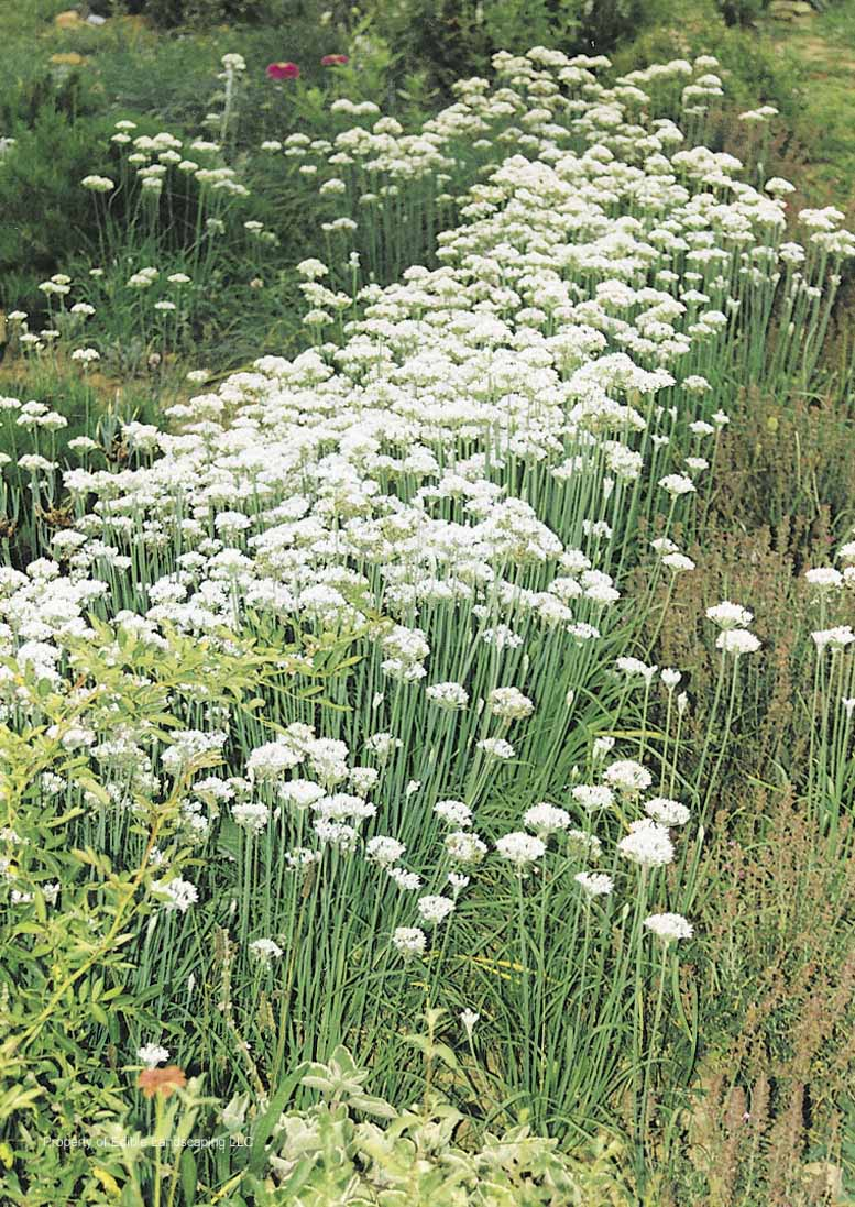 Herb Garlic Chives
