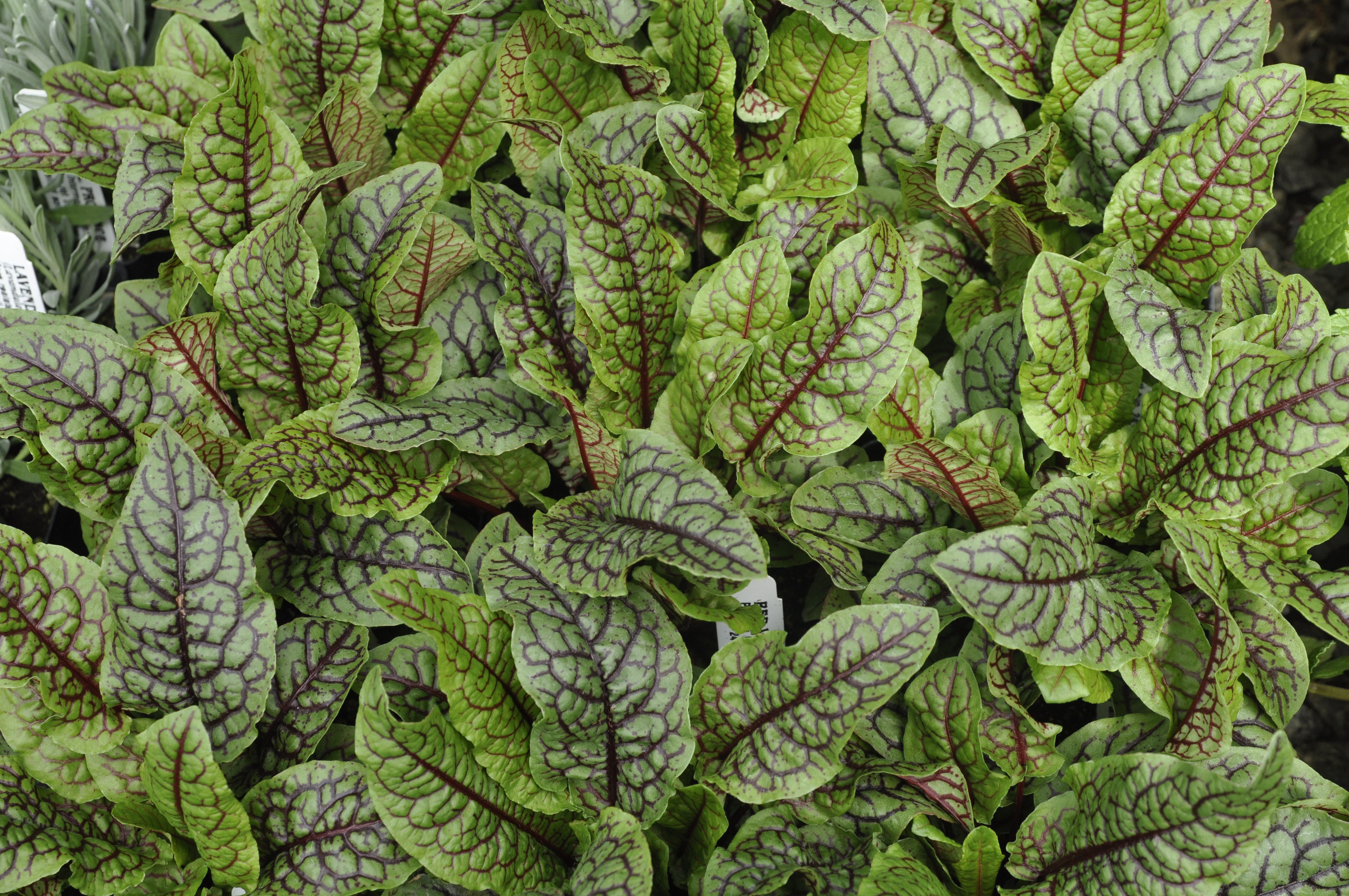 Herb Red Veined Sorrel
