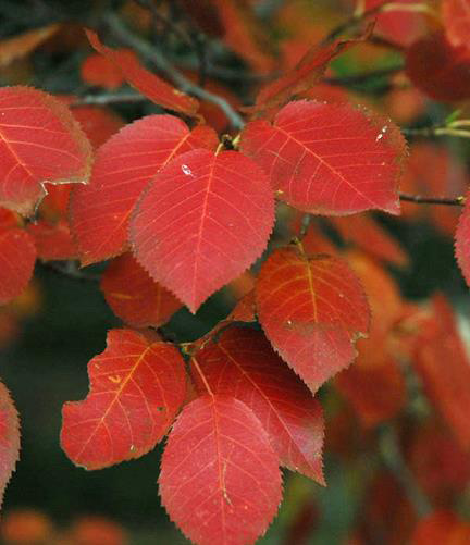 Juneberry Fall Leaf Color