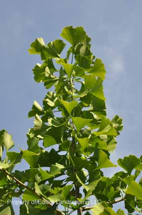 Nuts Ginko leaves