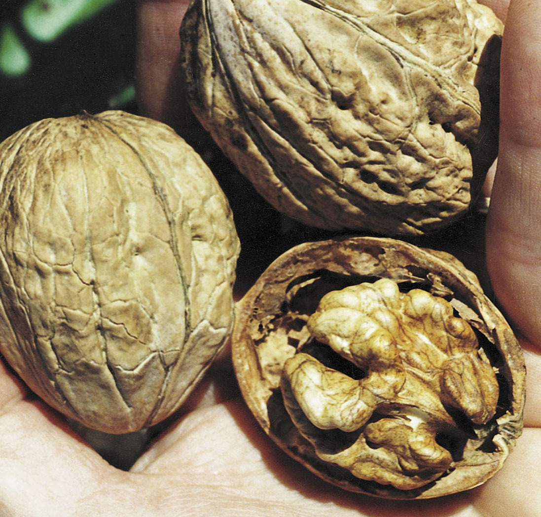 Nuts English Walnut