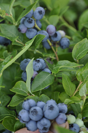 Northland Blueberry Edible Landscaping