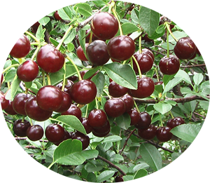 Cherry Carmine Jewel Bush