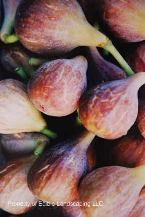 Fig Celeste Fruit