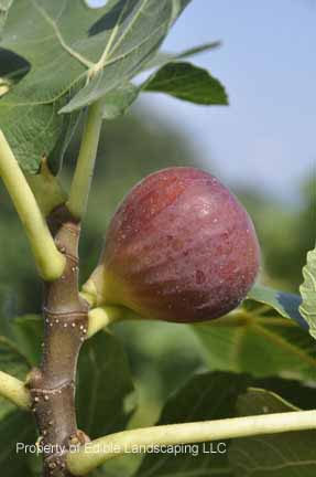 Fig Osborne Prolific