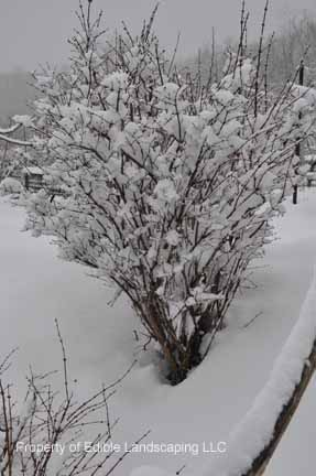 Honeysuckle Bush in Snow