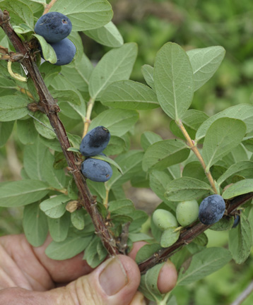 Honeysucle Blue Moon Fruits