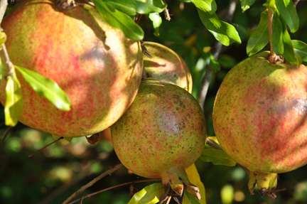 Pomegranate Russian Fruits