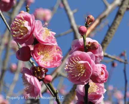 Winter Double Pink Flowering Ume Apricot Edible Landscaping