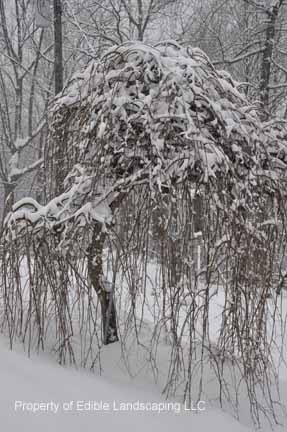 Mulberry Weeper In Winter Weeping