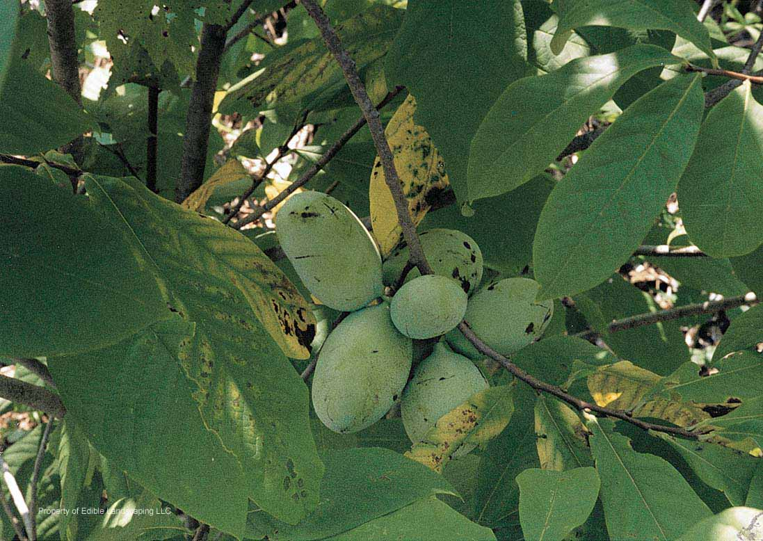 Shinko asian pear edible landscaping - Native Pawpaw