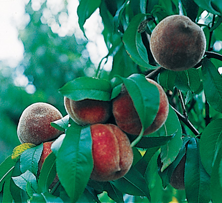 Indian Blood Cling Peach - Edible Landscaping