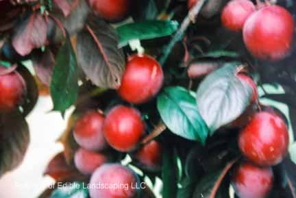 All Red Purple Leaf Plum Edible Landscaping