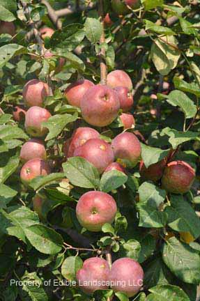 Apple Liberty fruits