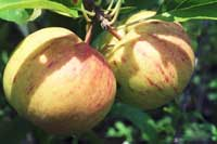 Apple Centennial Fruit On Tree
