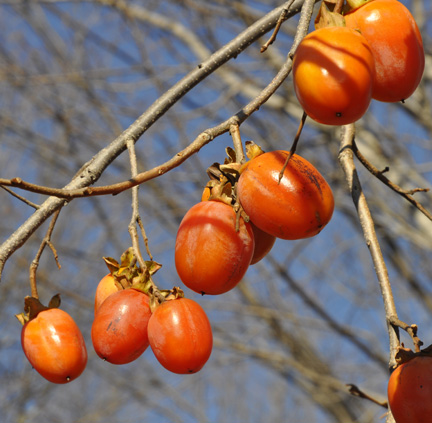 Persimmon Saijo End of November
