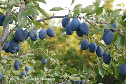 Plum Stanley Fruits