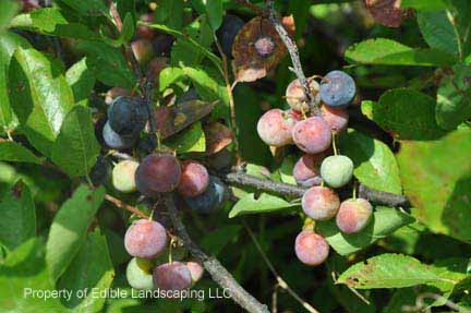 Plum Beach Plum fruit