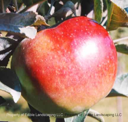 Apple Enterprise Fruit