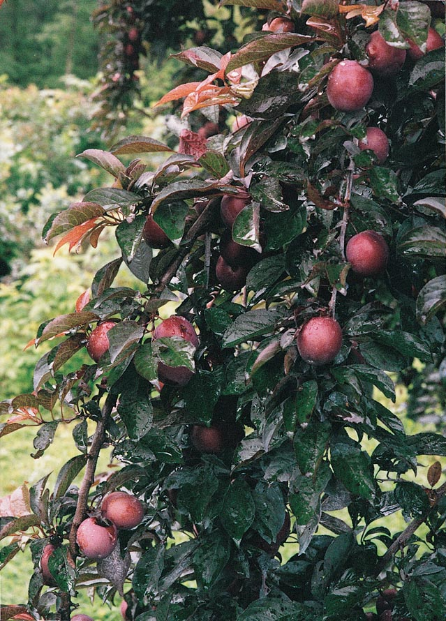 Plum Hollywood Fruit On Tree