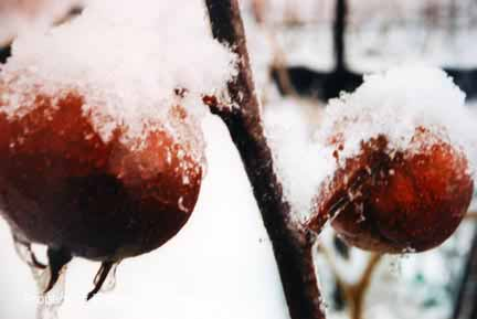 Medlar Winter