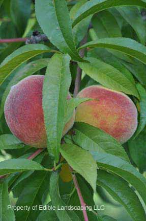 Peach Harrow Diamond fruit