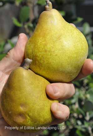 Pear Magness Fresh Fruits