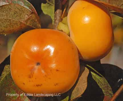 Persimmon Gwant Yang Fruit On Tree