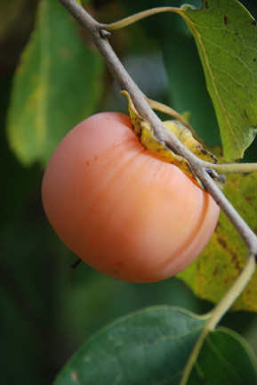 Persimmon Ruby