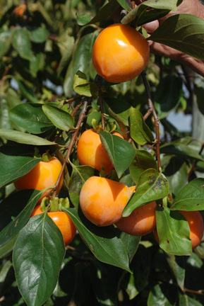 Persimmon Smiths Best