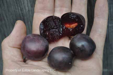 Plum Hiawatha Fruits
