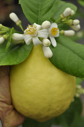 Citrus Ponderosa lemon with bloom
