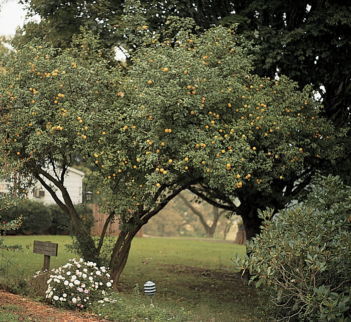 Citrus Hardy Trifoliate Orange