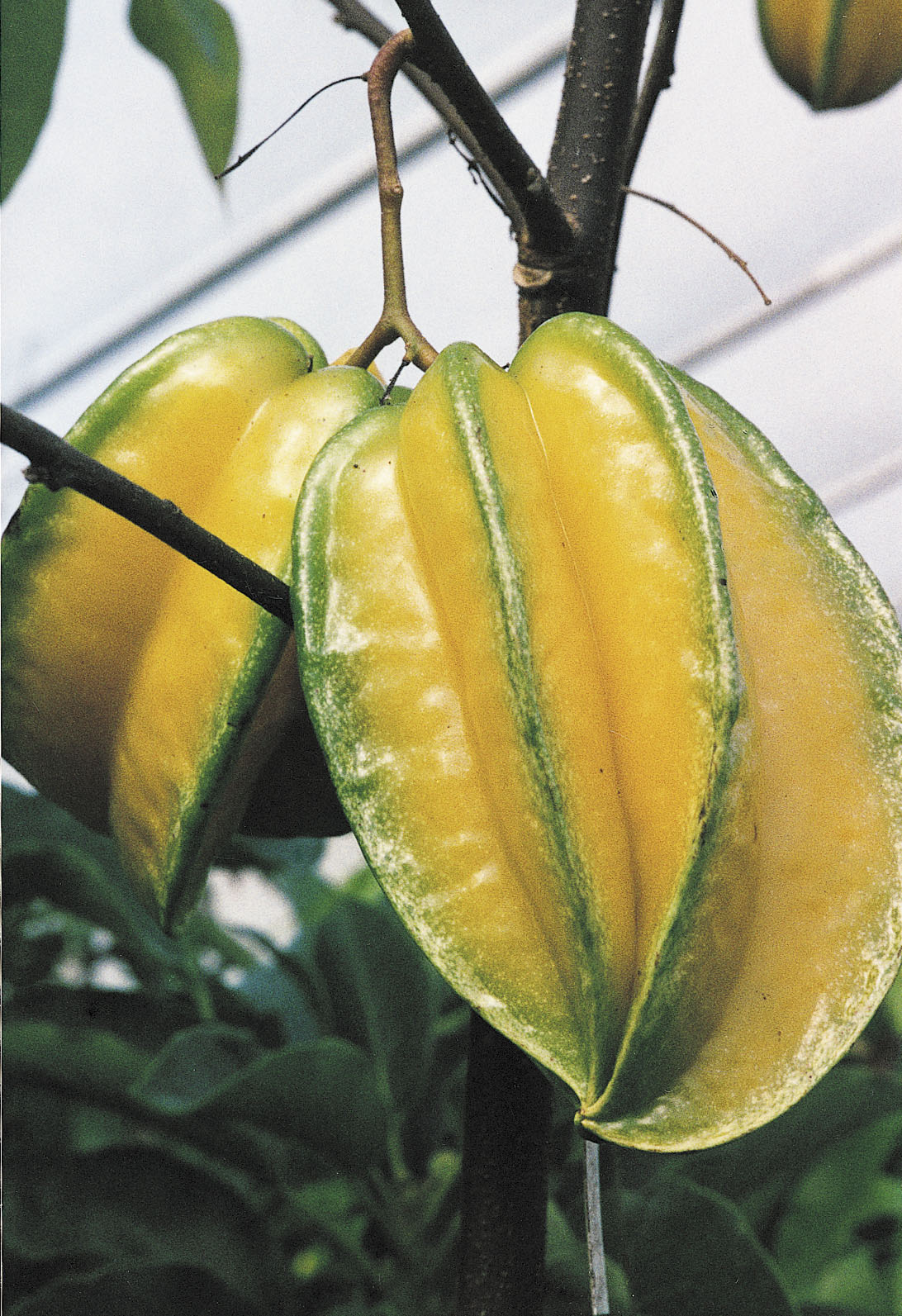 Tropical Star Fruit