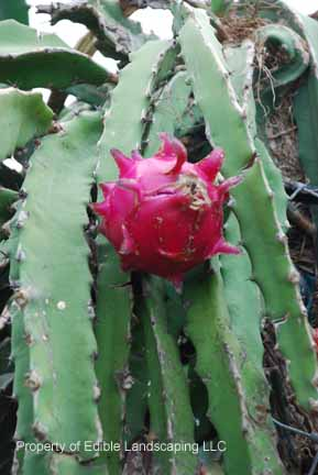 Dragon Fruit Edible Landscaping