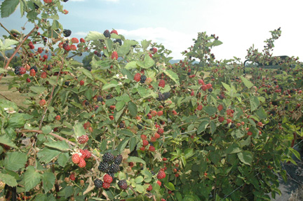 Blackberry Bush Diseases With Pictures