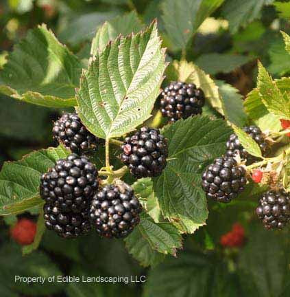 Ebony king blackberry