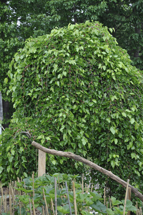 Dwarf Weeping Mulberry Edible Landscaping