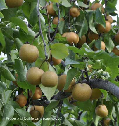 Asian pear tree height